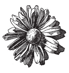Chrysanthemum flower is used as an ornament vector