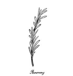 Hand drawn fresh rosemary plant on white vector