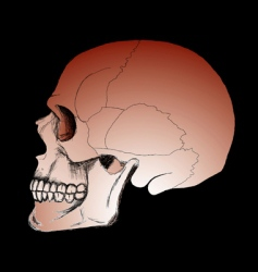 skull on the black background vector image