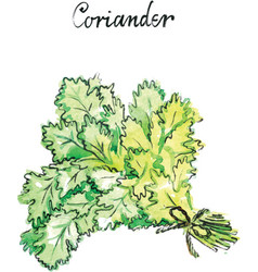 watercolor coriander vector image