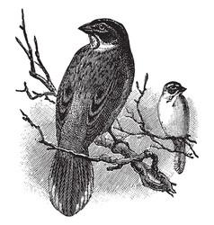 lark finch vintage vector image