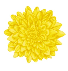 yellow dahlia isolated on white background vector image