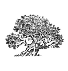 olive tree in vintage style national symbol vector image