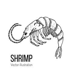 Shrimp sea animal hand-drawn line sketch vector