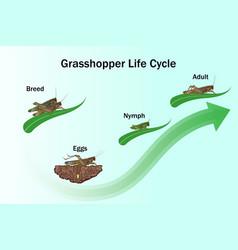 Grasshopper life cycle vector