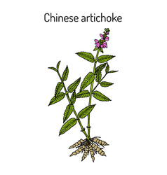 Chinese artichoke stachys sieboldii eatable and vector