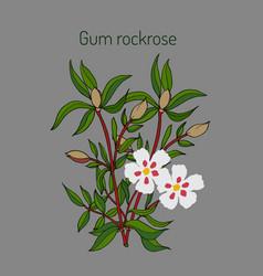 Gum rockrose - cistus ladanifer vector