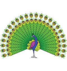 Peacock vector image