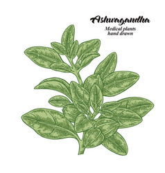Hand drawn ashwagandha isolated on white vector