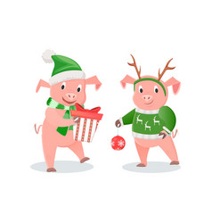 New year piglets in knitwear gift box and ball vector