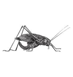 Oblong leaf winged grasshopper vintage vector
