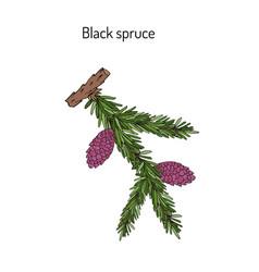picea mariana black spruce vector image