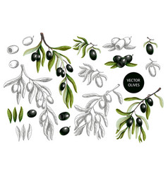 black olives branches vector image