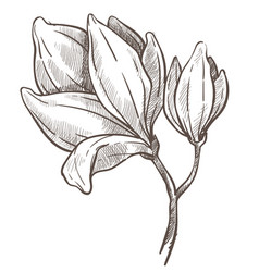 flowers blossom magnolia plant isolated sketch vector image