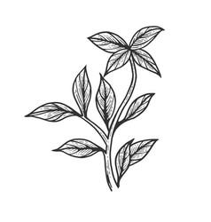 Basil ocimum spice sketch engraving vector