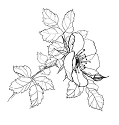 rose flower pencil drawing vector image
