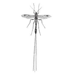 ichneumon fly vintage vector image