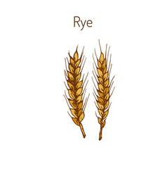 hand draw rye ears sketch vector image