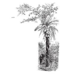 Judas tree vintage vector