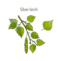 silver birch branch with leaves vector image vector image
