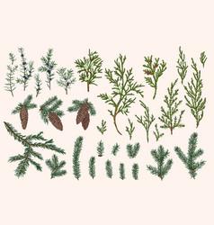 set christmas evergreens vector image