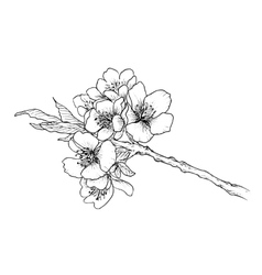 Hand drawn branch of cherry blossom vector image