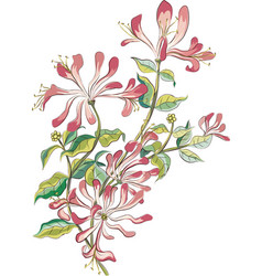 Honeysuckle vector image