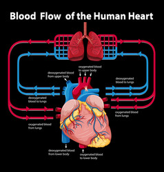Blood flow human heart vector