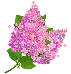 Lilac flower isolated vector image