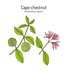 Cape chestnut calodendrum capense medicinal vector