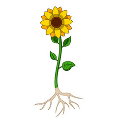 sunflowers tree with root system vector image