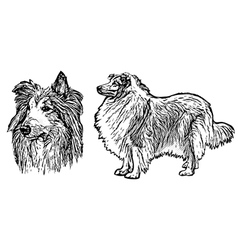 collie vector image