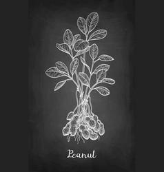 Chalk sketch of peanut plant vector
