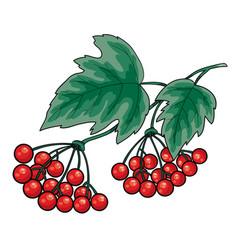 bunch red viburnum with green leaves isolated vector image