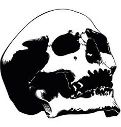 skull hand drawn image vector image