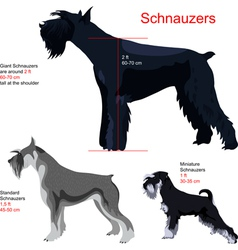schnauzer breed vector image