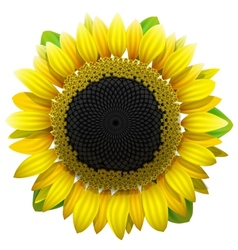 Sunflower on white background vector image