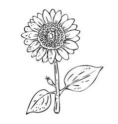 Stroke sunflower plant on white background vector