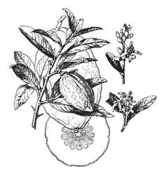 Citrus medica vintage vector