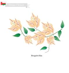 Orange Bougainvillea Flowers Flower of Oman vector image