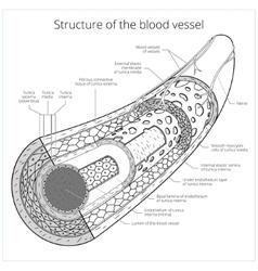 Structure blood vessel medical vector
