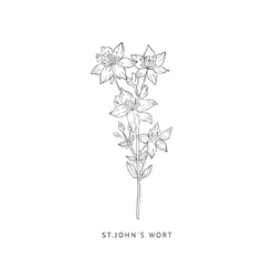 St Johns Wort Hand Drawn Realistic Sketch vector