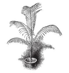 Cocos weddelliana vintage vector