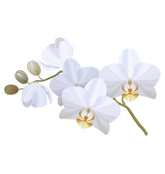 Realistic white orchid vector
