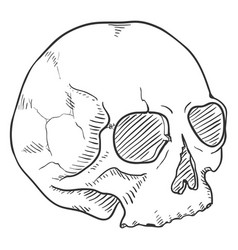 Single sketch - human skull without lower jaw vector