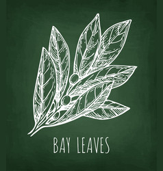 Chalk sketch of bay leaves vector