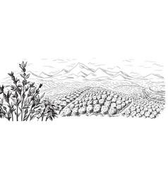 Coffee plantation landscape vector