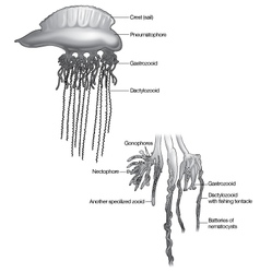Man of War Jellyfish vector image
