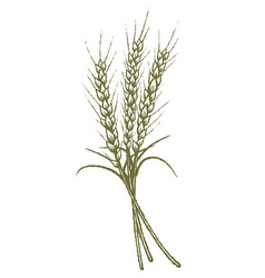 Woodcut wheat vector