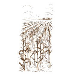 Cornfield grain stalk sketch vector